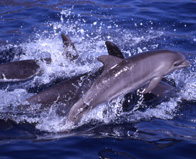 Bottlenose Dolphins at Los Gigantes Tenerife