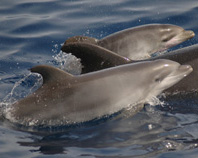Dolphins at Los Gigantes Tenerife