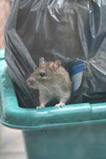 rats-in-rubbish